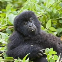 3 Days Gorilla Trekking to Bwindi $800-$9000