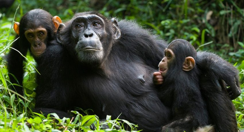 1 day Chimp trek in Budongo Forest