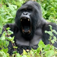 4 Days Gorilla Visit Safari in Uganda