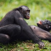 4 Days Chimpanzee Trekking Safari $80-$5000