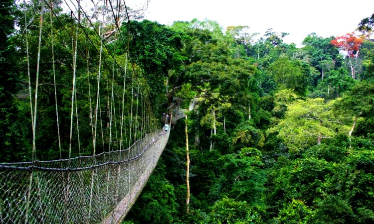 6 Days gorilla with chimp trek in Nyungwe Forest