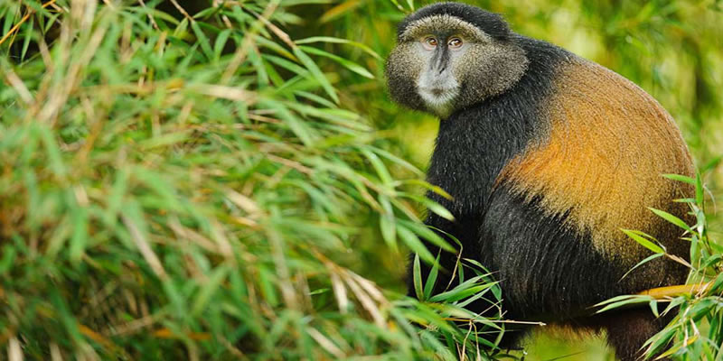4 Day Rwanda Gorillas | Golden Monkey Trek