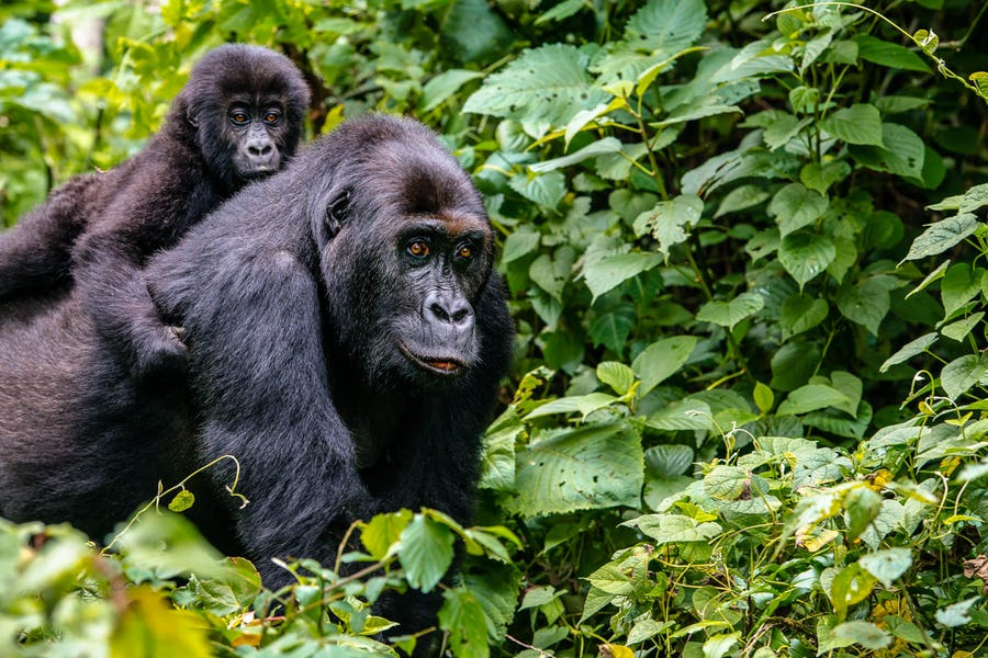10 Day Best Rwanda Budget Safari Tour