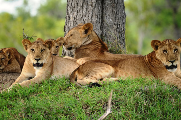 8 Day Tanzania Simba Budget Safari Tour