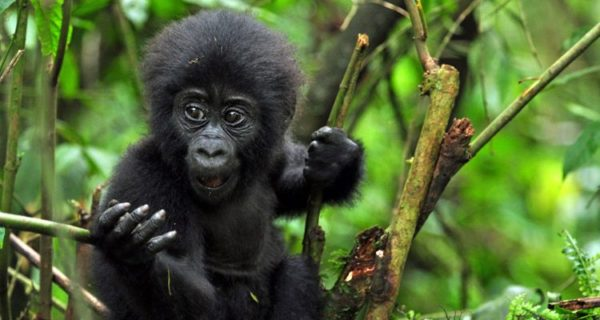 4 Day Uganda Gorilla | Explosive Wildlife Tour