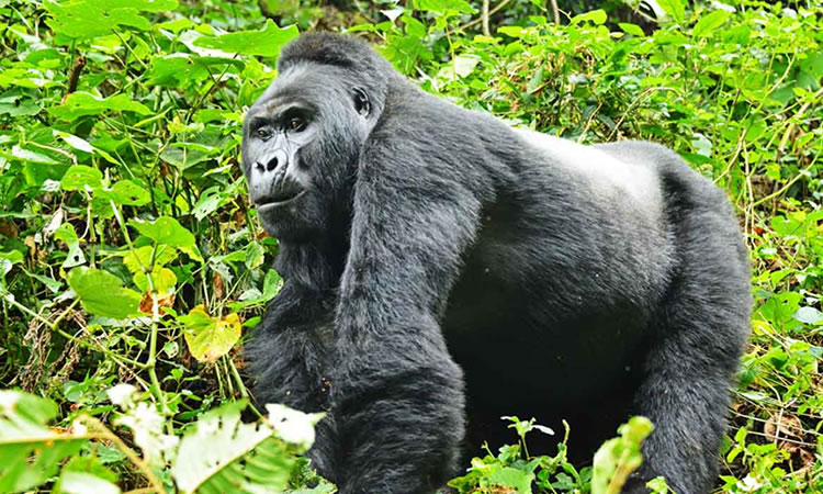 11 Day Gorillas | Volcanoes | Big Game